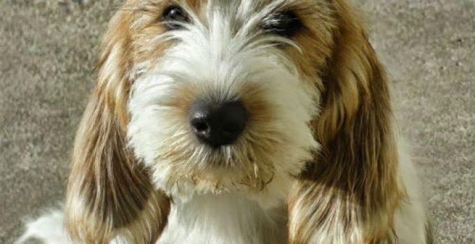 Best Dog Beds For Petit Basset Griffon Vendeens