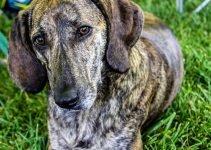 5 Best Dog Beds for Plott Hounds (Reviews Updated 2021)