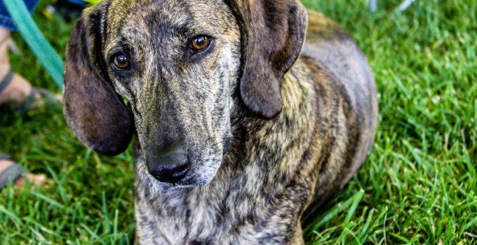 Best Dog Beds For Plott Hounds