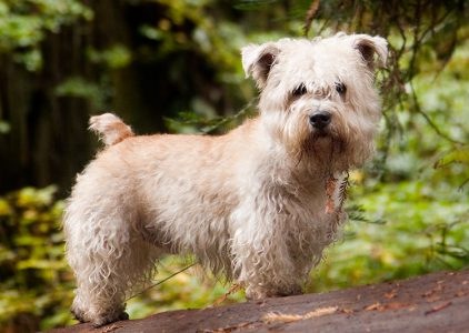 Best Dog Brushes For Glen Of Imaal Terriers
