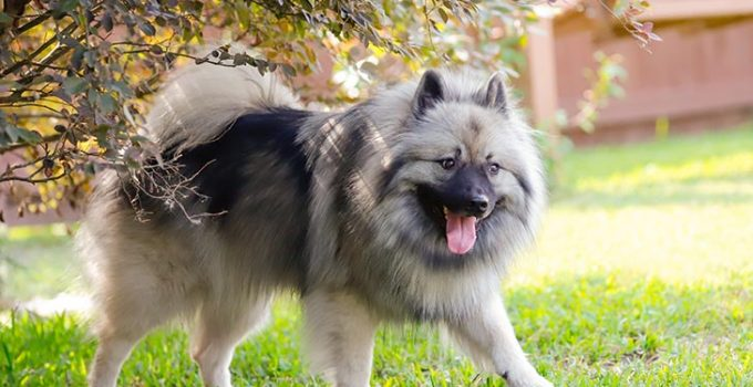 Best Dog Brushes For Keeshonds