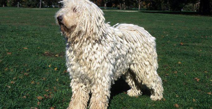 Best Dog Brushes For Komondors