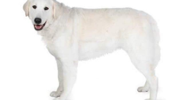 Best Dog Brushes For Kuvasz