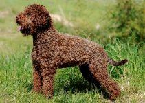 Best Dog Brushes For Lagotti Romagnoli