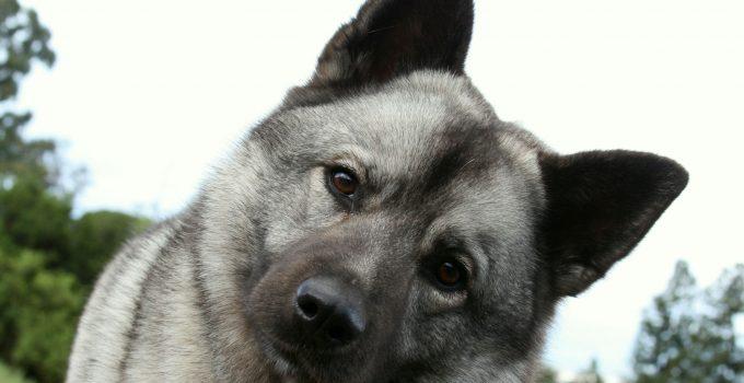 Best Dog Brushes For Norwegian Elkhounds