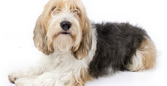 Best Dog Brushes for Petit Basset Griffon Vendeens