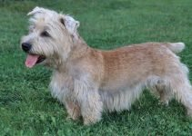 Best Dog Collars For Glen Of Imaal Terriers