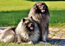 Best Dog Collars For Keeshonds