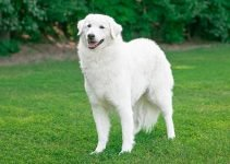 5 Best Dog Collars for Kuvasz (Reviews Updated 2021)