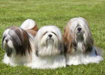 Best Dog Collars For Lhasa Apsos