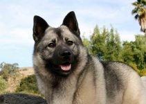 5 Best Dog Collars for Norwegian Elkhounds (Reviews Updated 2021)
