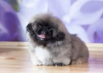 Best Dog Collars For Pekingese