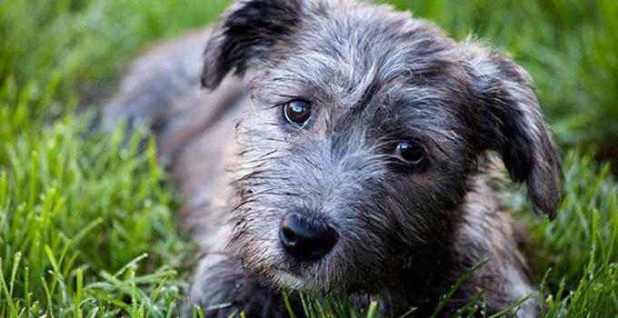 Best Dog Crates For Glen Of Imaal Terriers
