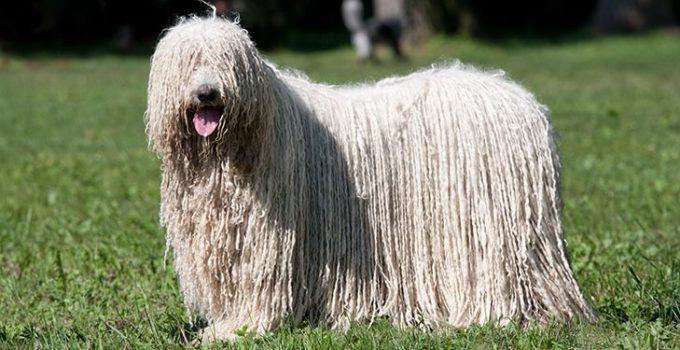 Best Dog Crates For Komondors