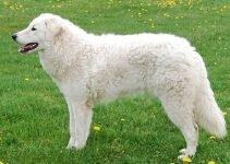 Best Dog Crates For Kuvasz