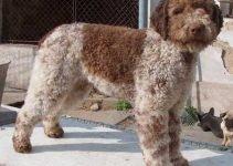 Best Dog Crates For Lagotti Romagnoli