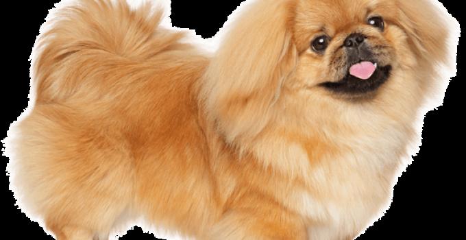 Best Dog Crates For Pekingese