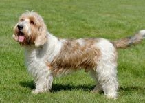 5 Best Dog Crates for Petit Basset Griffon Vendeens (Reviews Updated 2021)