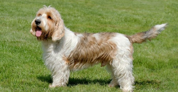 Best Dog Crates For Petit Basset Griffon Vendeens