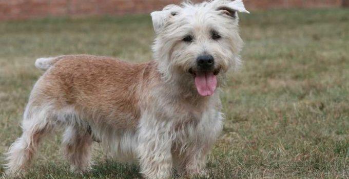 Best Dog Foods For Glen Of Imaal Terriers