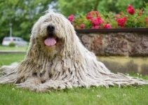 5 Best Dog Foods for Komondors (Reviews Updated 2021)