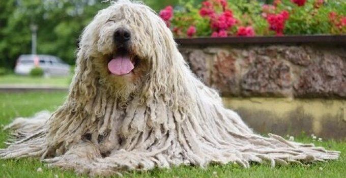 Best Dog Foods For Komondors