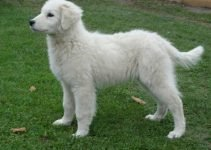 Best Dog Foods For Kuvasz