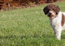 5 Best Dog Foods for Lagotti Romagnoli (Reviews Updated 2021)