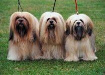 Best Dog Foods For Lhasa Apsos
