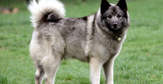 Best Dog Foods For Norwegian Elkhounds