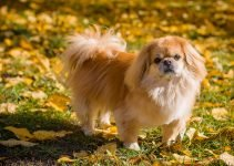 Best Dog Foods For Pekingese