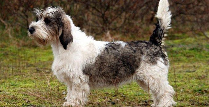 Best Dog Foods For Petit Basset Griffon Vendeens