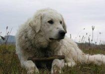 Best Dog Harnesses For Kuvasz
