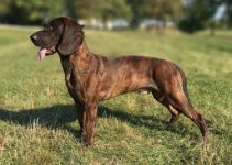 5 Best Dog Harnesses for Plott Hounds (Reviews Updated 2021)