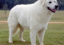 5 Best Dog Muzzles For Kuvasz (Reviews Updated 2021)