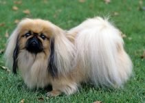 Best Dog Muzzles For Pekingese