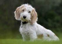 5 Best Dog Muzzles for Petit Basset Griffon Vendeens (Reviews Updated 2021)