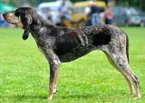 10 Best Dog Products for American Blue Gascon Hounds (Reviews Updated 2021)