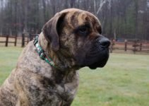 10 Best Dog Products for American Mastiffs (Reviews Updated 2021)
