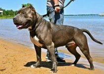 10 Best Dog Products for American Pit Corsos (Reviews Updated 2021)