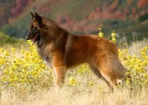 Best Dog Products For Belgian Tervurens