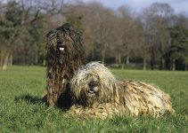 10 Best Dog Products for Bergamasco Sheepdogs (Reviews Updated 2021)