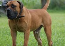 10 Best Dog Products for Boerboels (Reviews Updated 2021)