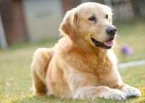 Best Dog Products For Goldadors