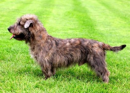 Best Dog Shampoos For Glen Of Imaal Terriers