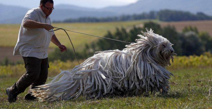 Best Dog Shampoos For Komondors