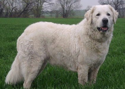 Best Dog Shampoos For Kuvasz