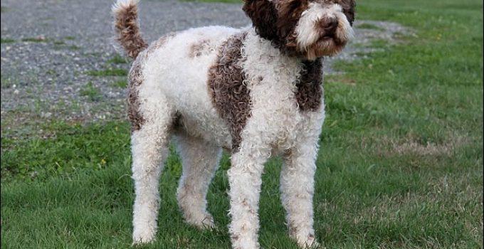Best Dog Shampoos For Lagotti Romagnoli