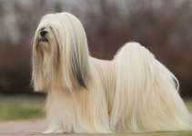 Best Dog Shampoos For Lhasa Apsos