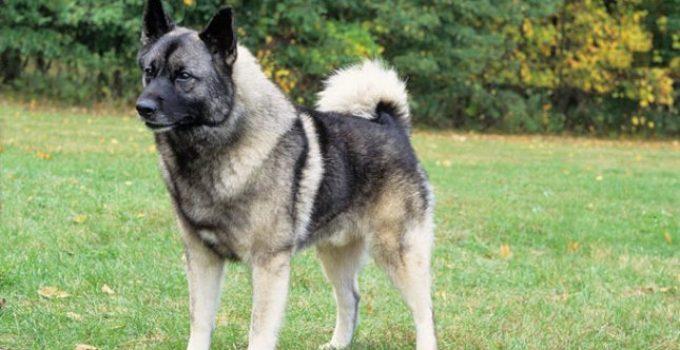 Best Dog Shampoos For Norwegian Elkhounds